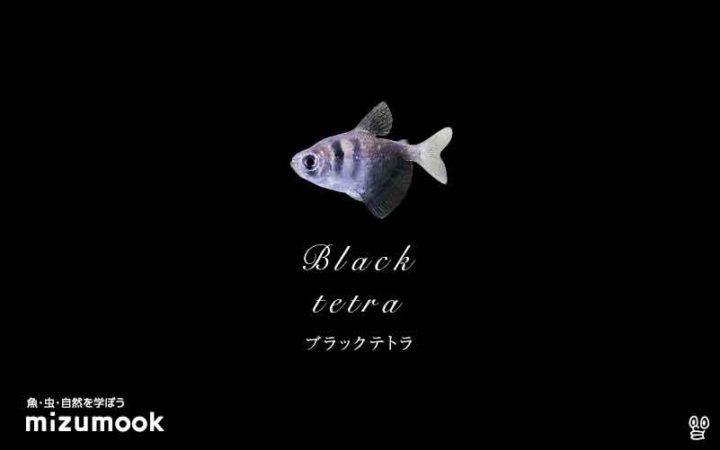 characin_black-tetra