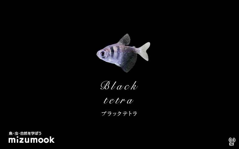 ブラックテトラの飼い方/混泳・大きさ・繁殖・種類