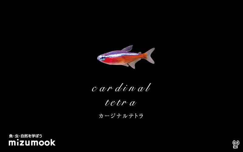 カージナルテトラの飼い方/飼育・混泳・大きさ・繁殖・種類