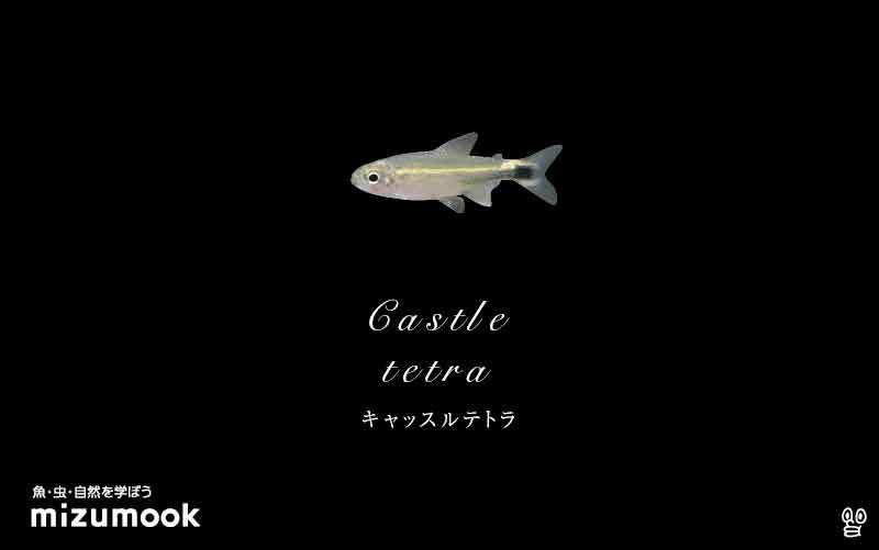 キャッスルテトラの飼い方/混泳・大きさ・繁殖・種類