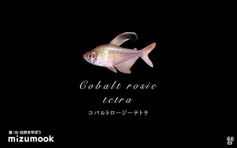 コバルトロージーテトラの飼い方/混泳・大きさ・繁殖・種類