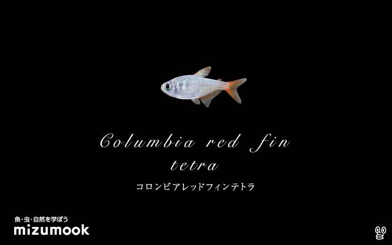 コロンビアレッドフィンテトラの飼い方/混泳・大きさ・繁殖・種類