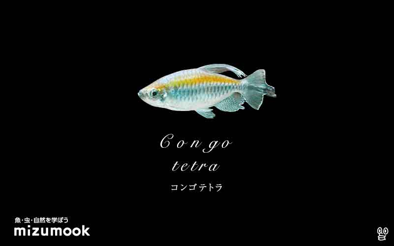 コンゴテトラの飼い方/混泳・大きさ・繁殖・種類