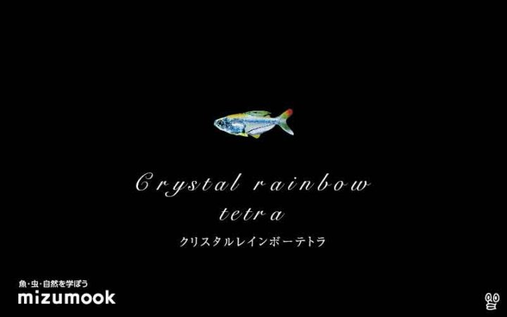 characin_crystal-rainbow-tetra