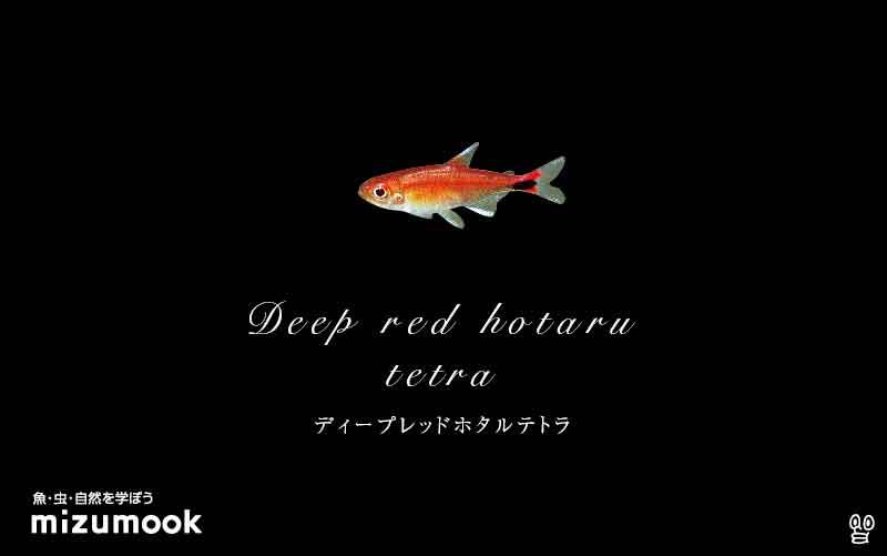 ディープレッドホタルテトラの飼い方/混泳・大きさ・繁殖・種類
