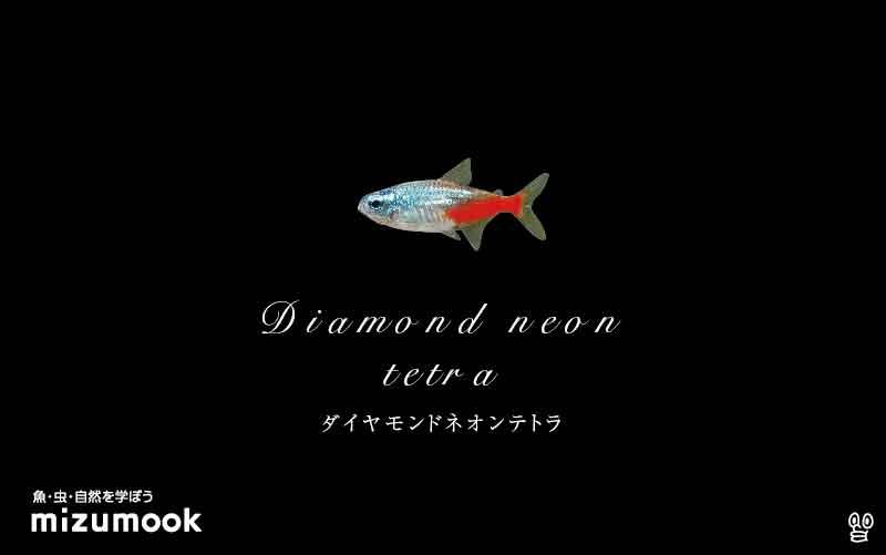 ダイヤモンドネオンテトラの飼い方/飼育・混泳・大きさ・繁殖・種類