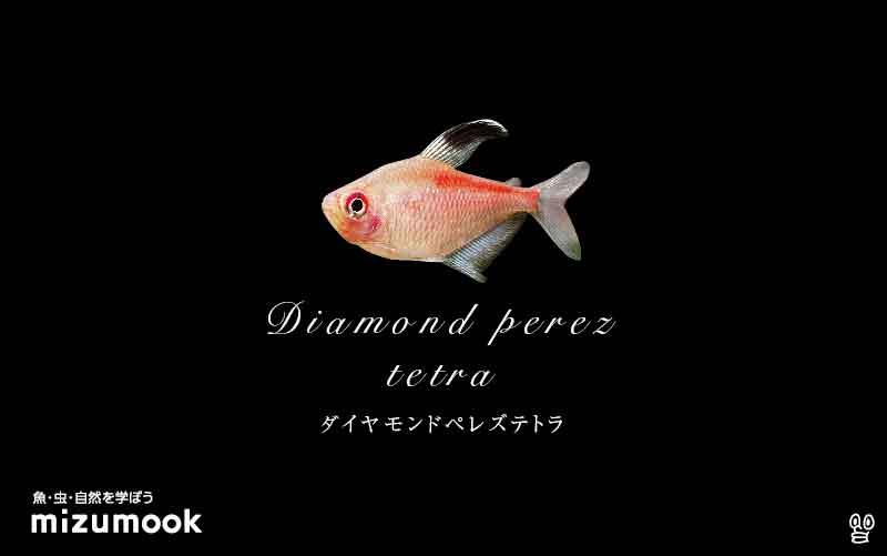 ダイヤモンドペレズテトラの飼い方/混泳・大きさ・繁殖・種類