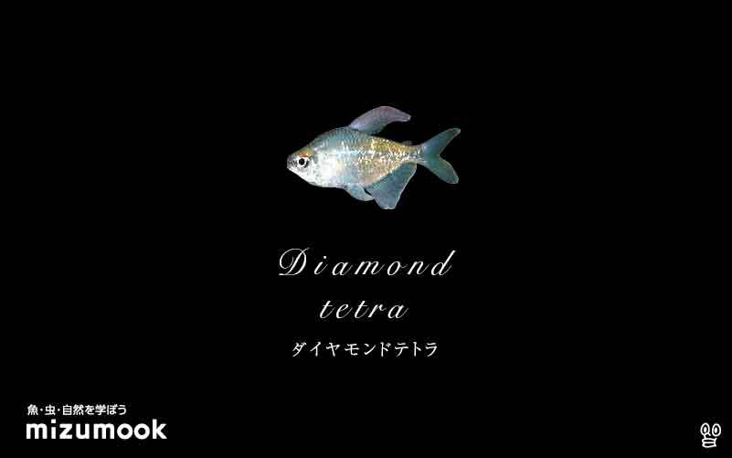 ダイヤモンドテトラの飼い方/混泳・大きさ・繁殖・種類