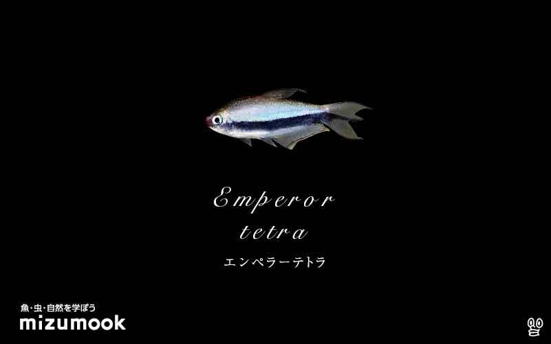 エンペラーテトラの飼い方/混泳・大きさ・繁殖・種類