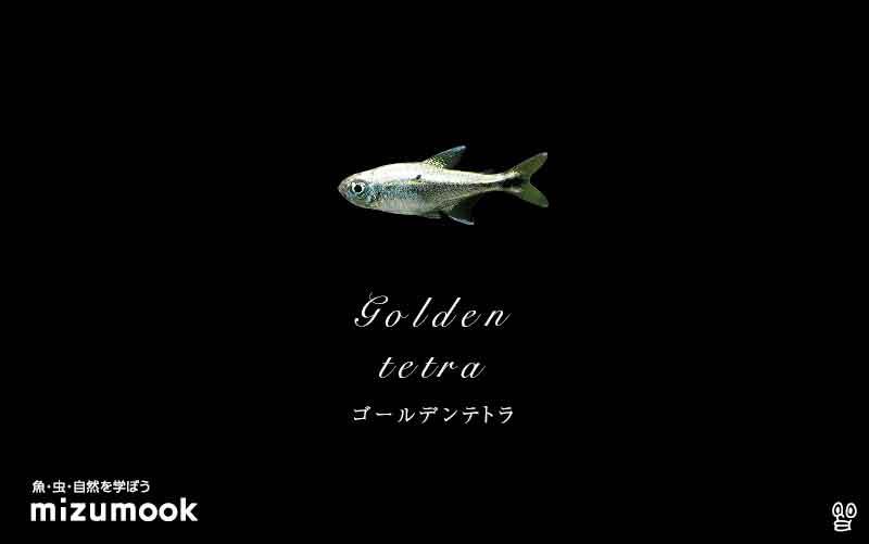 ゴールデンテトラの飼い方/混泳・大きさ・繁殖・種類
