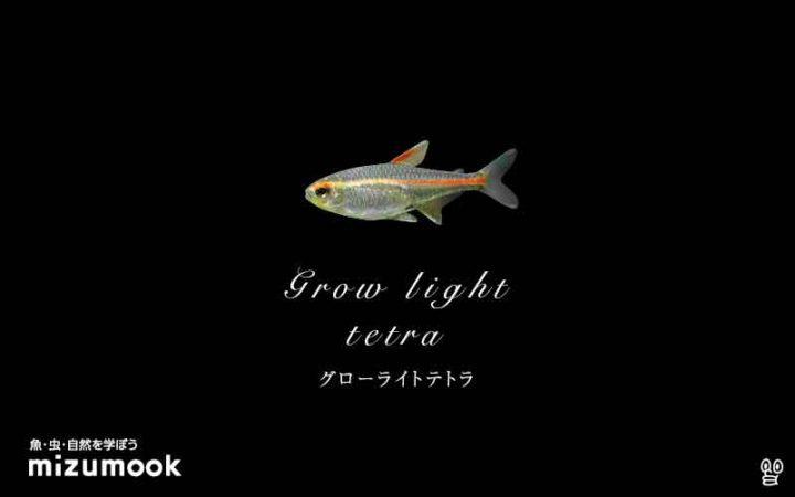 characin_grow-light-tetra