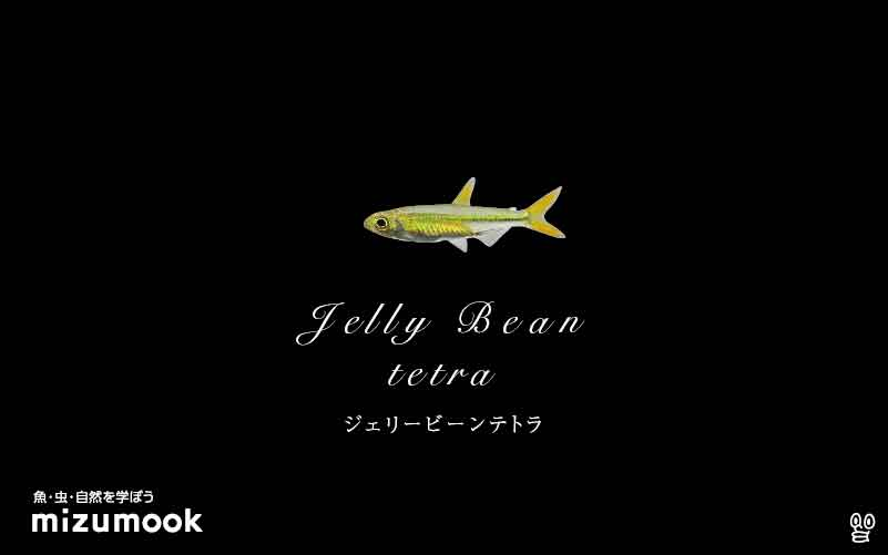 ジェリービーンテトラの飼い方/混泳・大きさ・繁殖・種類