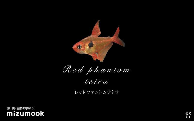 レッドファントムテトラの飼い方/混泳・大きさ・繁殖・種類