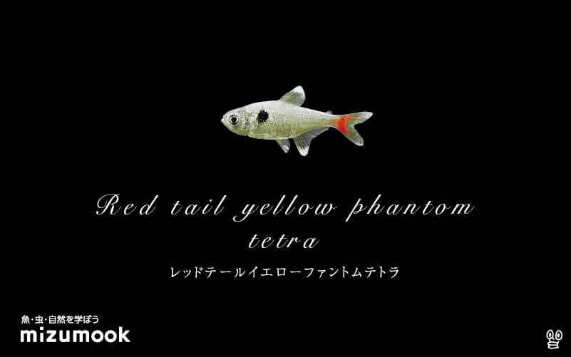レッドテールイエローファントムテトラの飼い方/混泳・大きさ・繁殖・種類