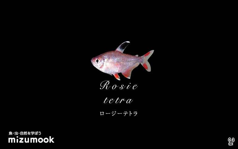 ロージーテトラの飼い方/混泳・大きさ・繁殖・種類