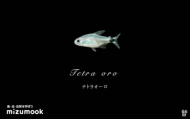 テトラオーロの飼い方/飼育・混泳・大きさ・繁殖・種類