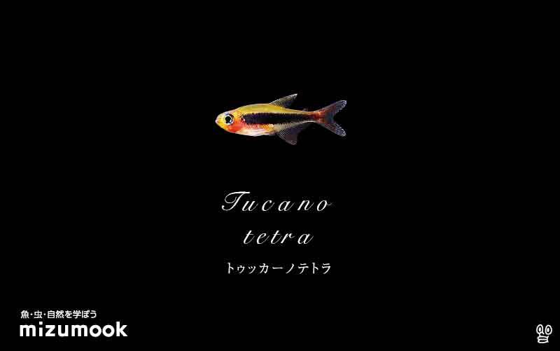 トゥッカーノテトラの飼い方/混泳・大きさ・繁殖・種類