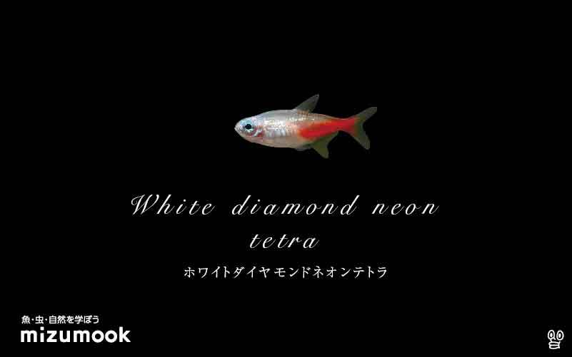 ホワイトダイヤモンドネオンテトラの飼い方/混泳・大きさ・繁殖・種類