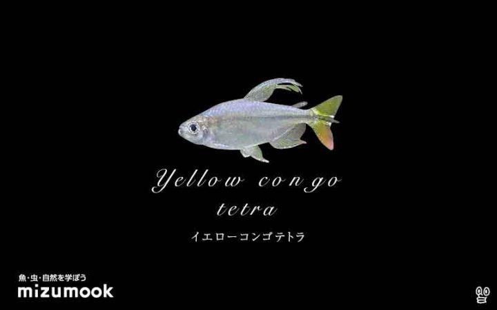 characin_yellow-congo-tetra