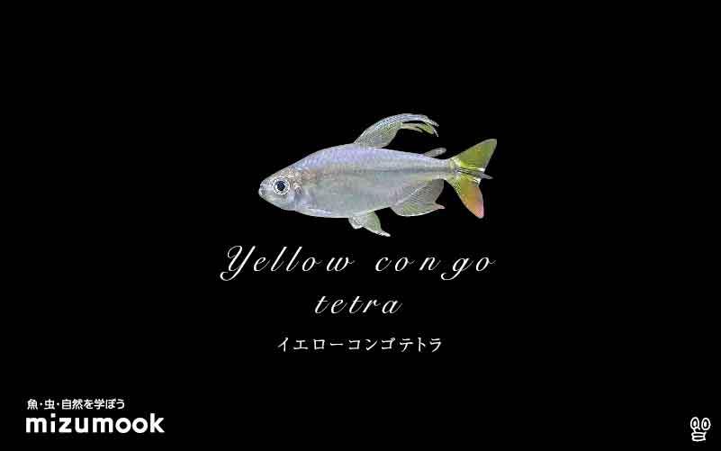 イエローコンゴテトラの飼い方/混泳・大きさ・繁殖・種類