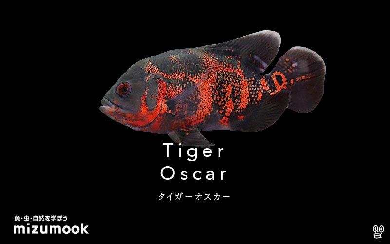 タイガーオスカーの飼い方/飼育・繁殖・混泳・病気
