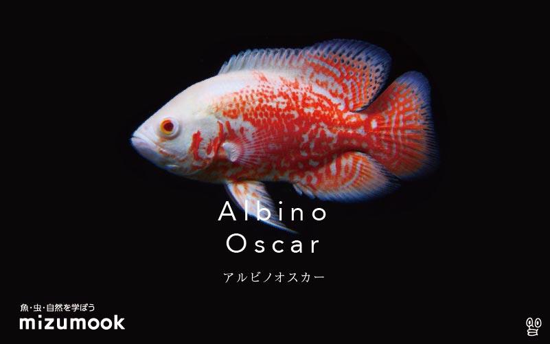 アルビノオスカーの飼い方/飼育・繁殖・混泳・病気
