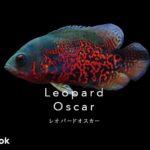 レオパードオスカーの飼い方/飼育・繁殖・混泳・病気