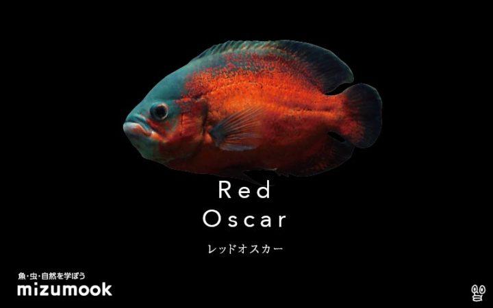 cichlid_red-oscar
