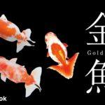 金魚の種類をご紹介/全10種類