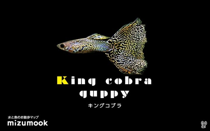 guppy-king-cobra