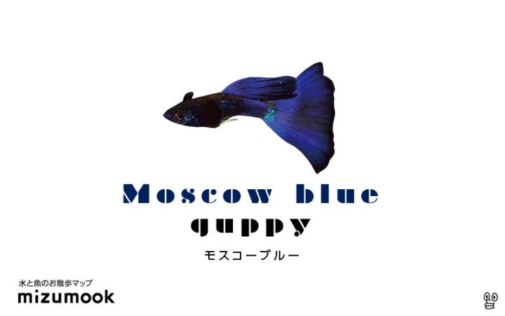 guppy-moscow-blue