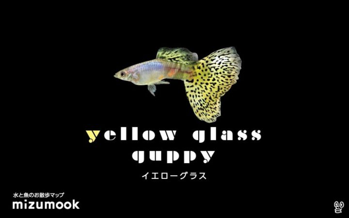 guppy-yellow-glass