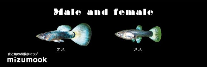 guppys-name-type_male-and-female