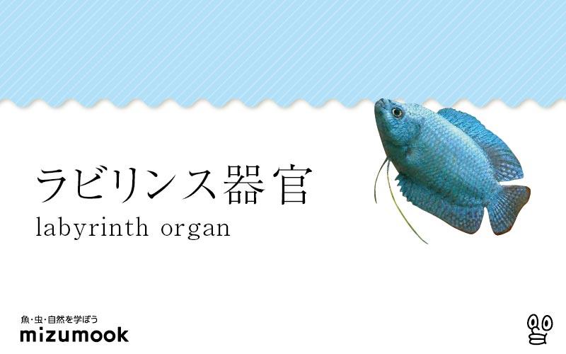 ラビリンス器官とは/ベタ・アナバス