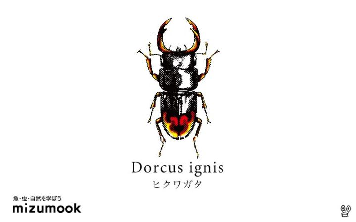 stag-beetle-dorcus-ignis