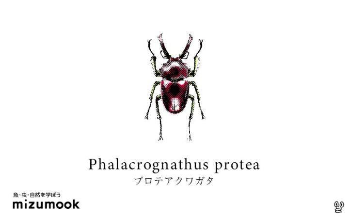 stag-beetle-phalacrognathus-protea