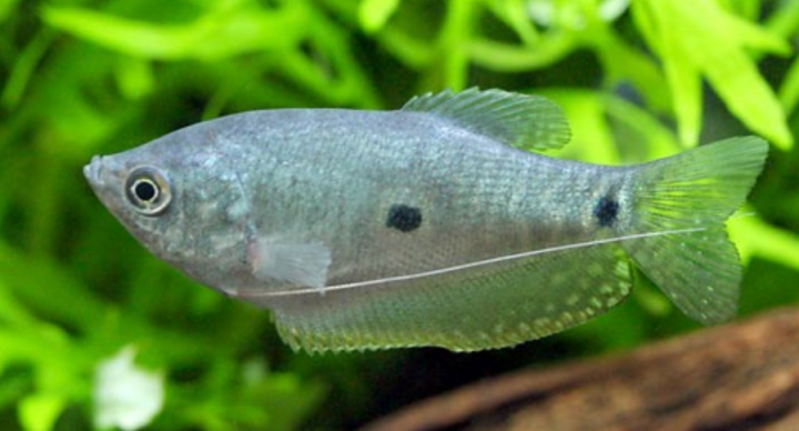 three-spot-gourami