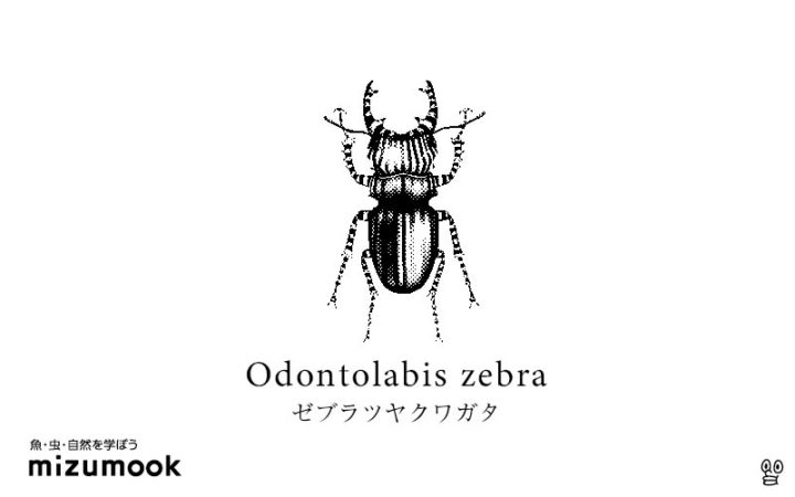 stag-beetle-2-odontolabis-zebra