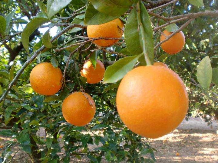 https://upload.wikimedia.org/wikipedia/commons/0/0a/Naranjas_valencianas.jpg