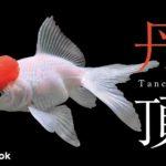丹頂の飼い方/金魚・飼育・えさ・病気・種類