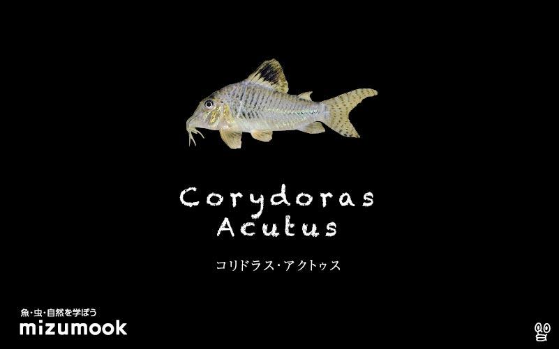 コリドラス アクタスの飼い方/飼育・混泳・大きさ・繁殖・種類