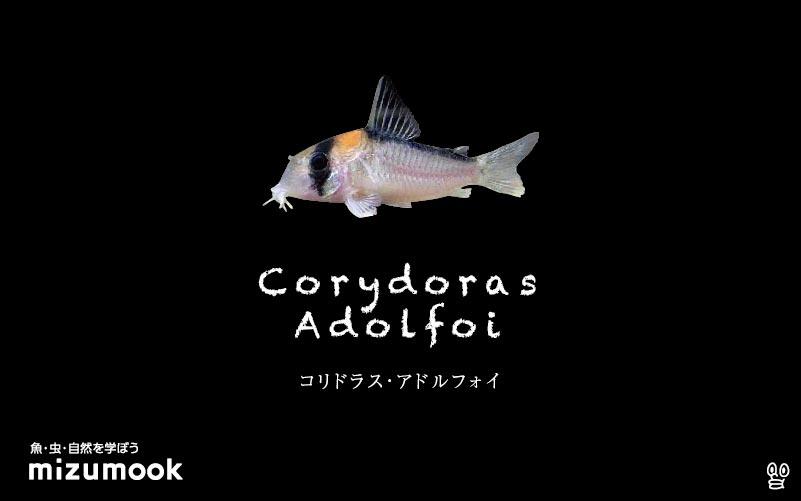 コリドラス アドルフォイの飼い方/飼育・混泳・大きさ・繁殖・種類