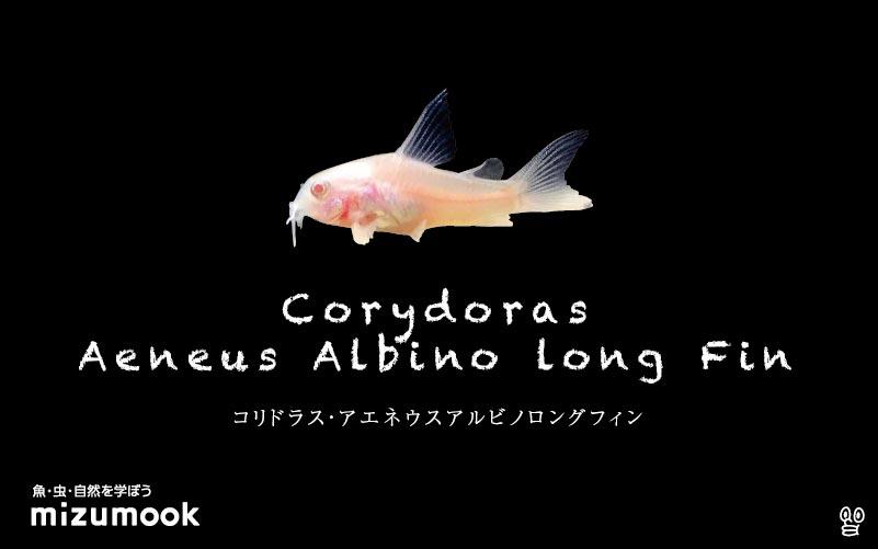 コリドラス アエネウス アルビノ  ロングフィンの飼い方/飼育・混泳・大きさ・繁殖・種類