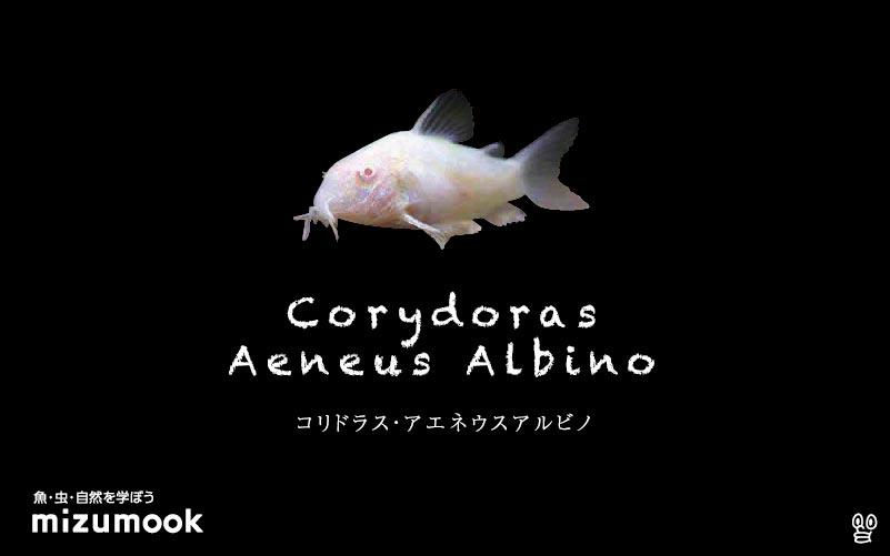 コリドラス アエネウス アルビノの飼い方/飼育・混泳・大きさ・繁殖・種類