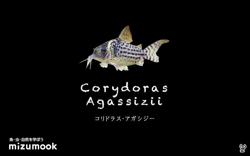 コリドラス アガシジーの飼い方/飼育・混泳・大きさ・繁殖・種類
