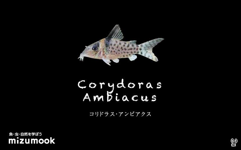 コリドラス アンビアクスの飼い方/飼育・混泳・大きさ・繁殖・種類