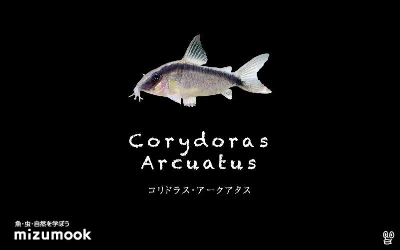 コリドラス アークアタスの飼い方/飼育・混泳・大きさ・繁殖・種類