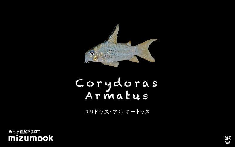 コリドラス アルマータスの飼い方/飼育・混泳・大きさ・繁殖・種類
