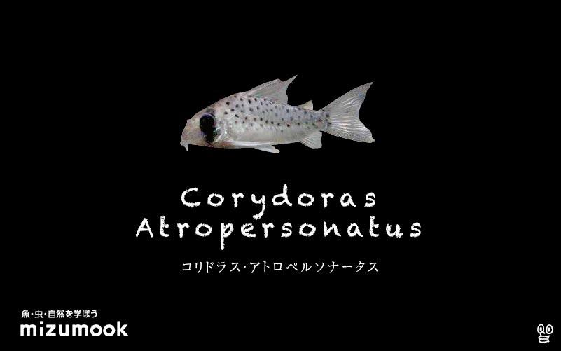 コリドラス アトロペルソナータスの飼い方/飼育・混泳・大きさ・繁殖・種類