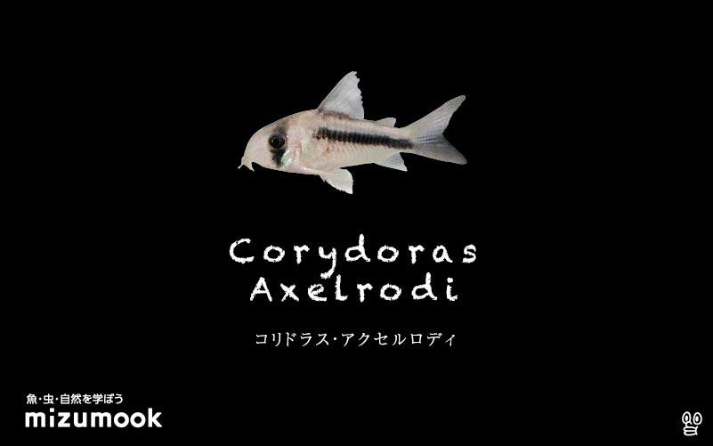 コリドラス アクセルロディの飼い方/飼育・混泳・大きさ・繁殖・種類